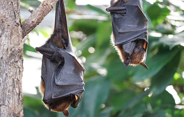 هل الخفاش من الطيور