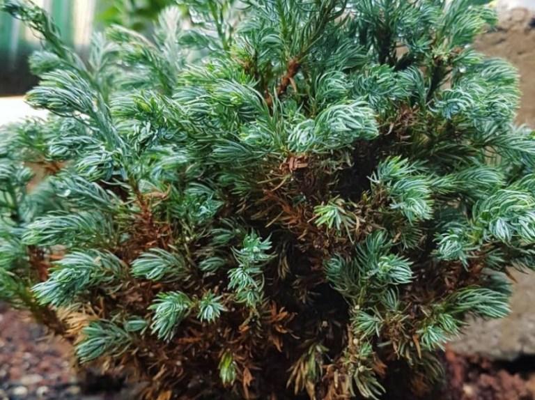 Jenis Pohon Cemara