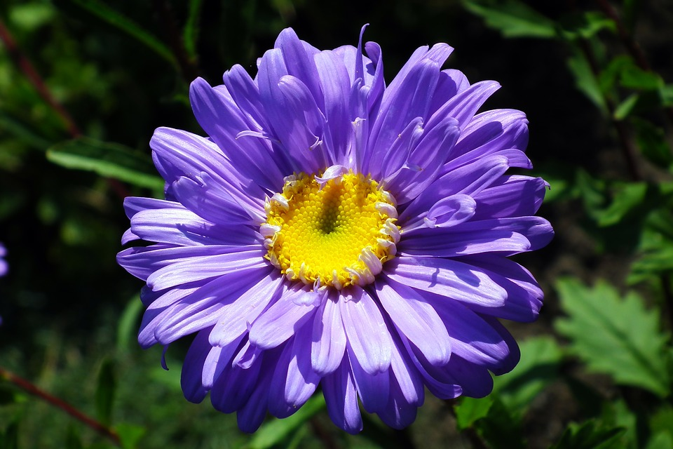 Bunga Aster Biru