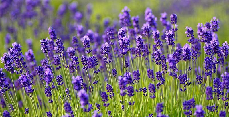 Morfologi bunga lavender
