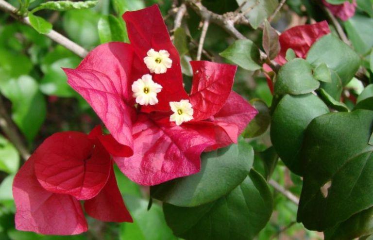 Taksonomi bunga bougenville