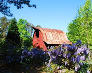 Barn with Wysteria