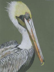 Pelican in Colored Pencil