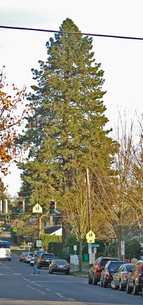 The Pearson Ponderosa Pine presides over the corner of NE 29th and Fremont.