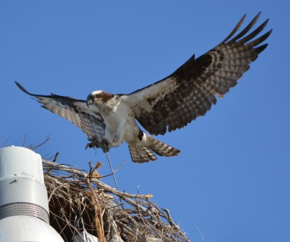 Female with nesting stick