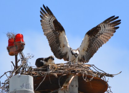 Male osprey (right) looking at fish before giving to female.