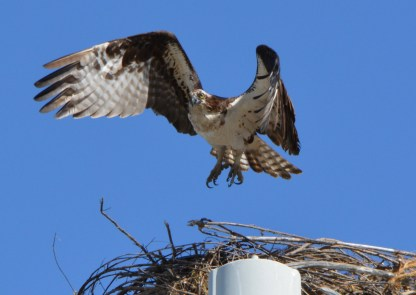 Female osprey leaving nest