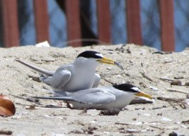 Least tern male with fish in mating posture. On the beach outside of nesting area.