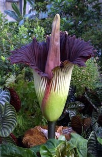 Ciri Bunga Bangkai : bunga, bangkai, Perbedaan, Rafflesia, Arnoldii, Bunga, Bangkai, Alamendah's