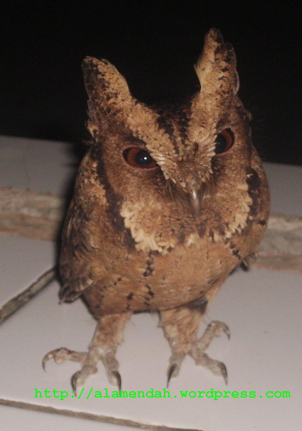 Burung Hantu Burung Raja Mitos  Garisindonesia