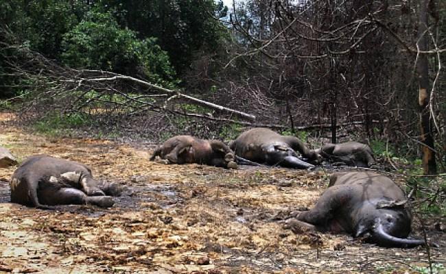 Culture By Violences Gajah Mati Meninggalkan Gading