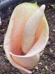 Ciri Bunga Bangkai : bunga, bangkai, Mengenal, Bunga, Bangkai, (Amorphophallus), Jenis, Macamnya, Alamendah's