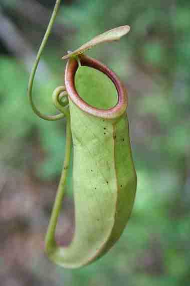 Jenisjenis Tanaman Bunga Kantong Semar Sulawesi