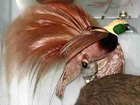 Burung Cendrawasih Burung Surga Bird of Paradise