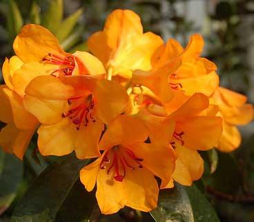 Bunga Rhododendron Asli Indonesia  Alamendahs Blog