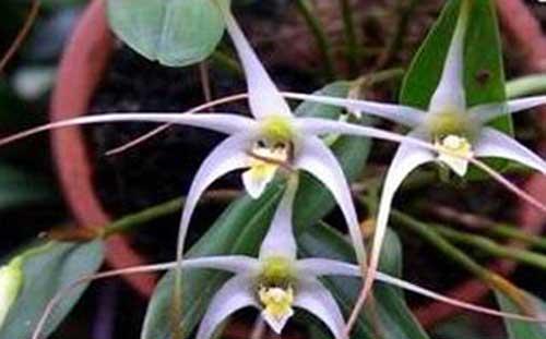 Anggrek Serat Flora Maskot Sulawesi Tenggara  Alamendahs