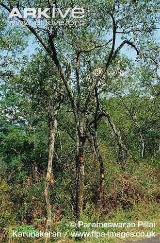 Ciri Ciri Kayu Cendana Asli : cendana, Cendana, Santalum, Album, Pohon, Aroma, Primadona, Alamendah's