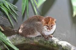 48 Gambar Hewan Karnivora Indonesia dan Nama Latinnya