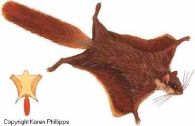 Bajing Terbang Jawa atau Bajing Terbang Ekor Merah