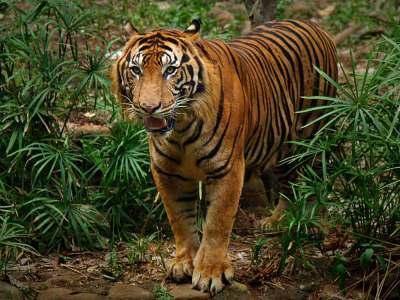 Gambar Kepala Harimau