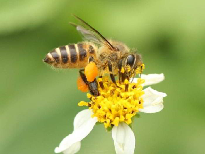 Mengenal Lebah Madu dan JenisJenisnya di Indonesia