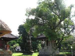 Nagasari Pohon Anti Tenung  Alamendahs Blog