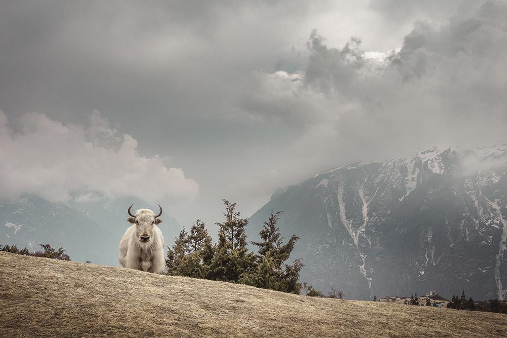yak at Namche Bazzar, Nepal