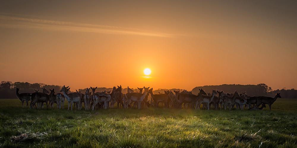 Deer in sunset at Phoenix Park, Dublin - Fine Art Print