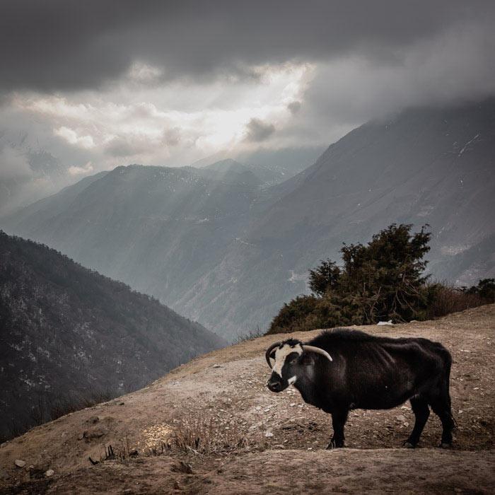 Animals in Nepal