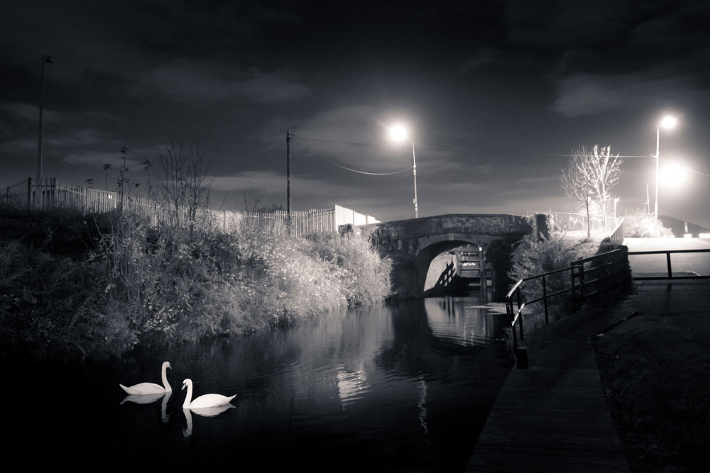 Royal Canal Swan Photo Print