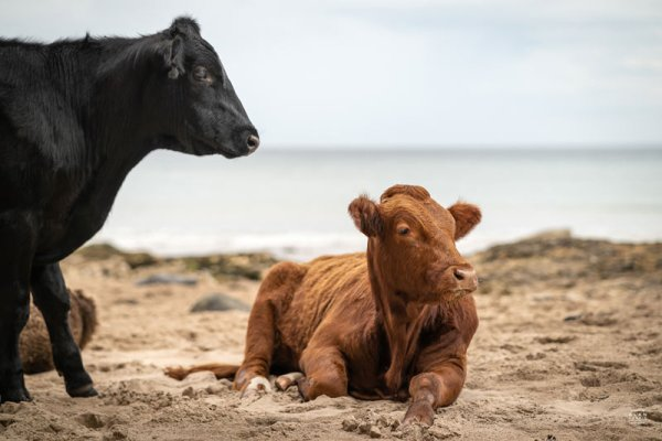 White Park Bay - Cattle in the sand