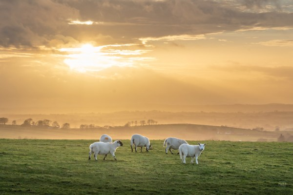 Sheep in winter sun - Northern Ireland #1