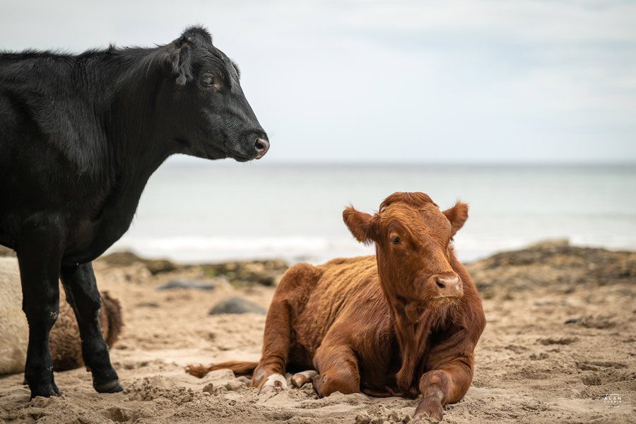 Cows on beach at Ballintoy - Northern Ireland