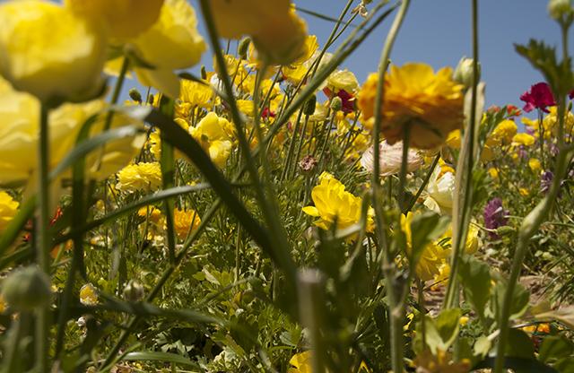 flowerfields8