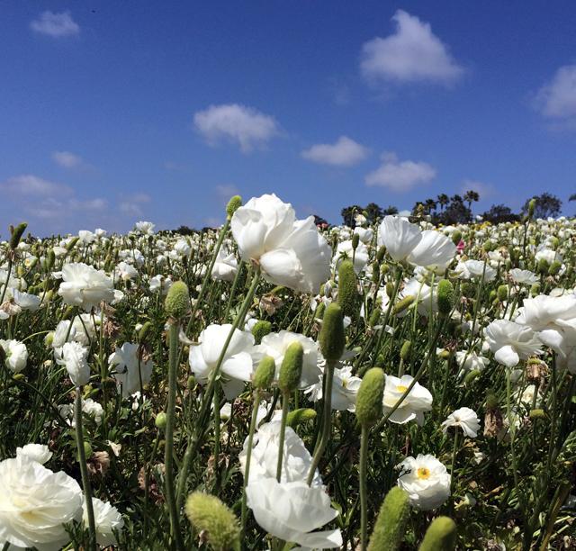 sd flower fields2