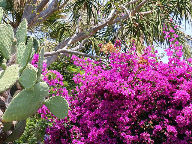 Cactus Bouigainvillea