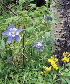 Fish-Creek-columbine