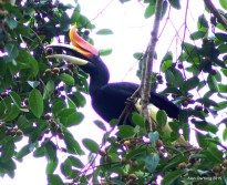 Rhinoceros Hornbill Male