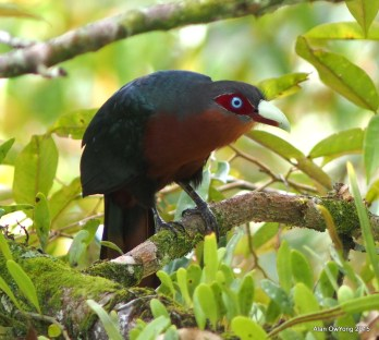 Chestnut-breasted Malkoha