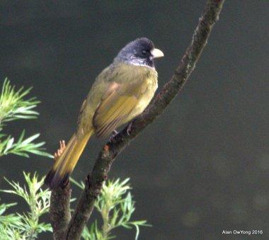 Grey-capped Finchbill