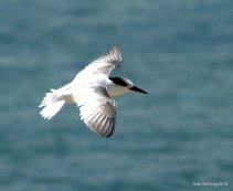 Sub adult Little Tern at Marina Barrage