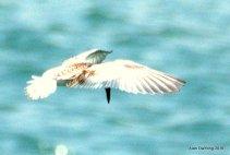 Little Tern at GBTB