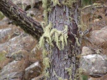 Lichen on the branches