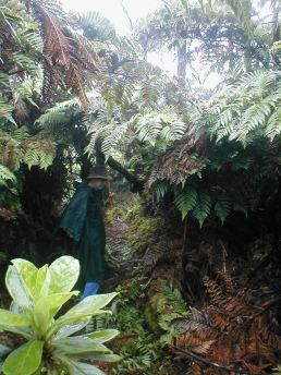 Tree ferns capturing the cloud mist
