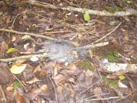 Poisoned rat dissolving back to the undergrowth