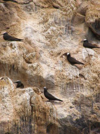 Nesting noddies