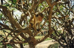 Monkey at Dambulla