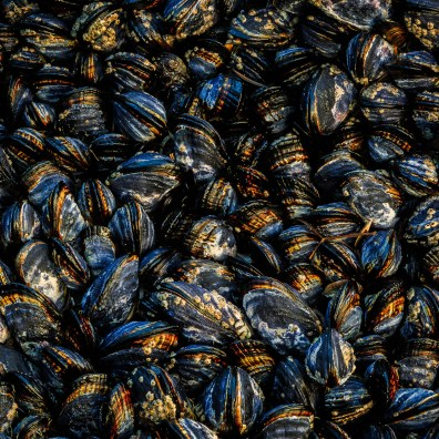 Mussels – Sea Ranch, CA