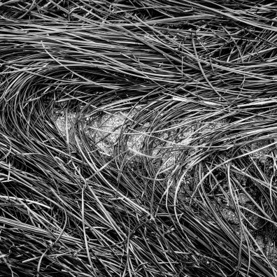 Sea Grass B&W – Sea Ranch, CA