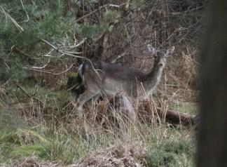 Fallow Deer3